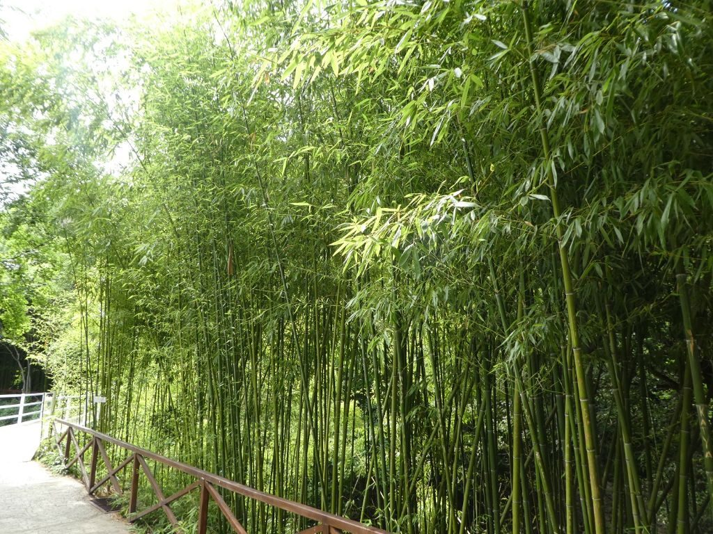 Botanischer Garten Tiflis Bambuswald
