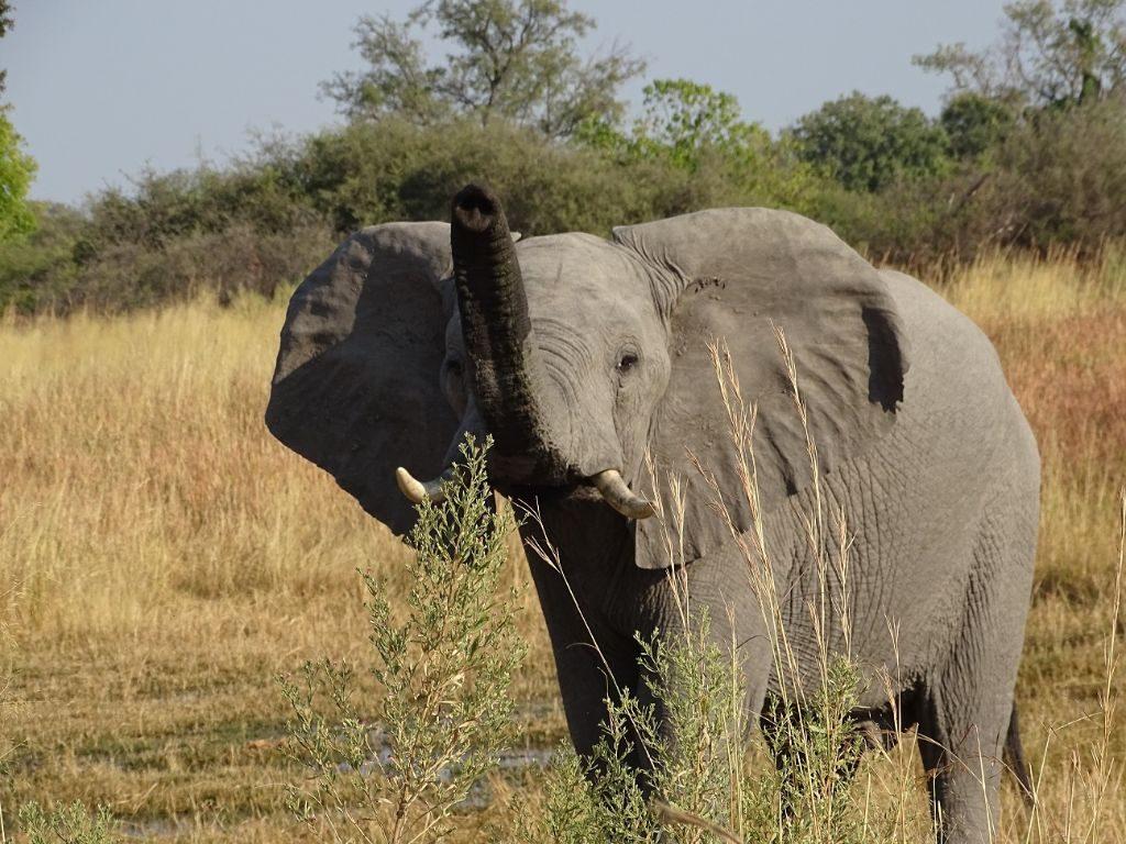 Elefant Moremi Botswana Afrika
