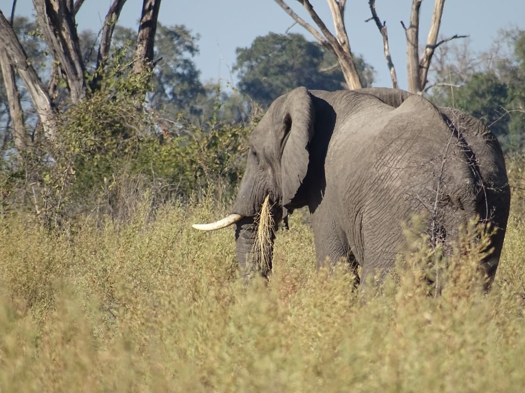 Elefant Okavango Delta
