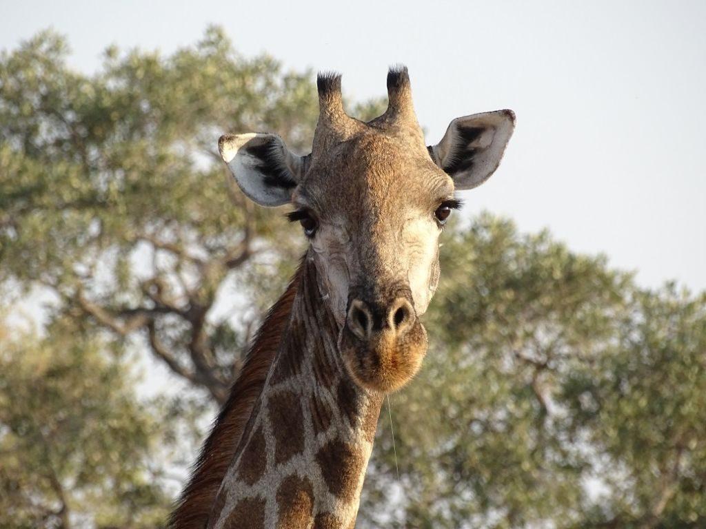 Giraffe Savuti Botswana
