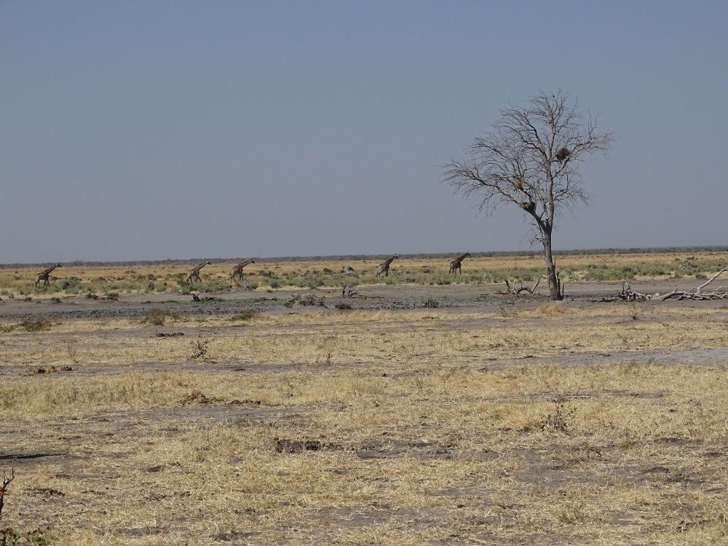 Giraffen Karawane Botswana