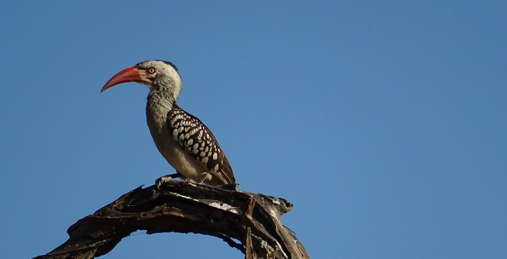 Hornvogel Zazu Okavango Delta