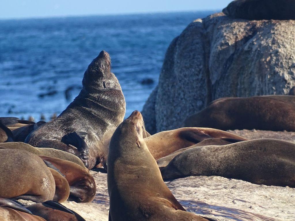 Hout Bay Duikers Island Robben