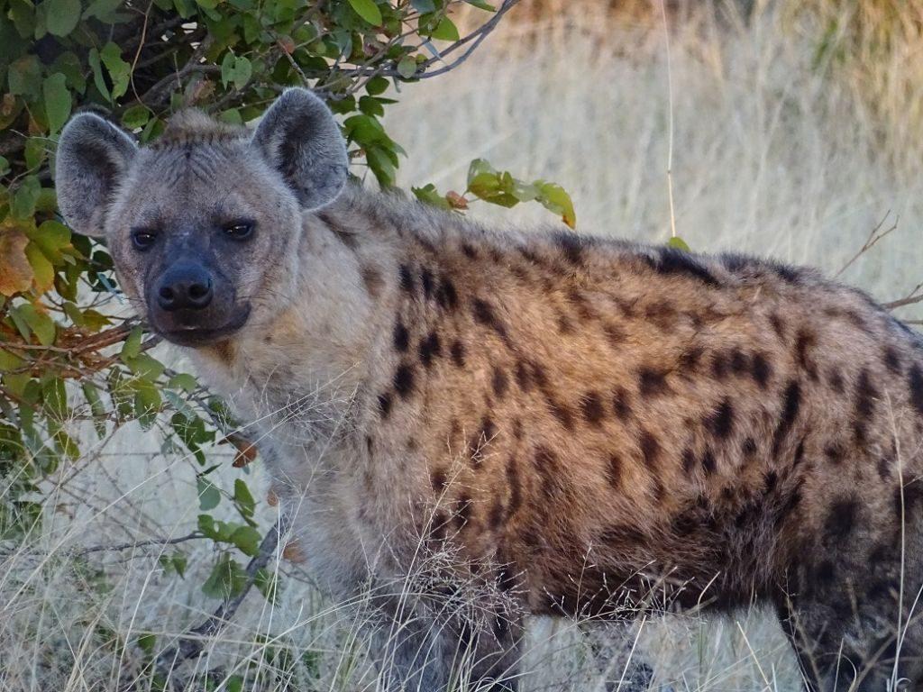 Hyäne Botswana Savuti Afrika