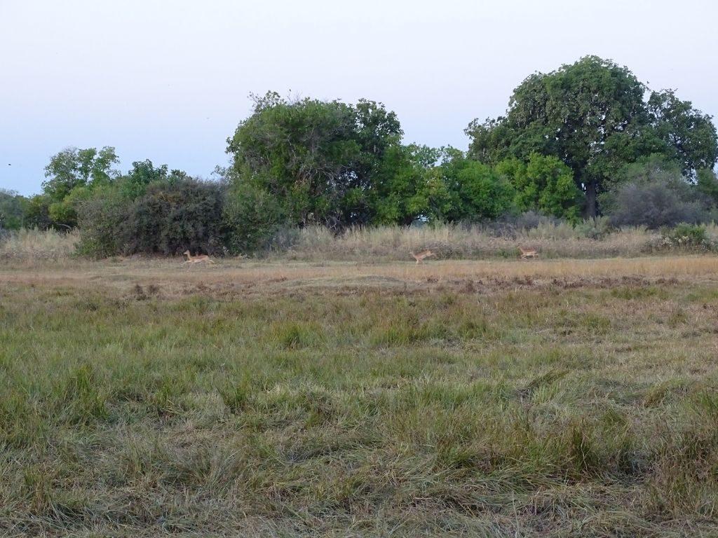 Impalas auf der Flucht