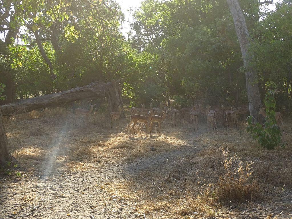 Impalas im Camp Moremi