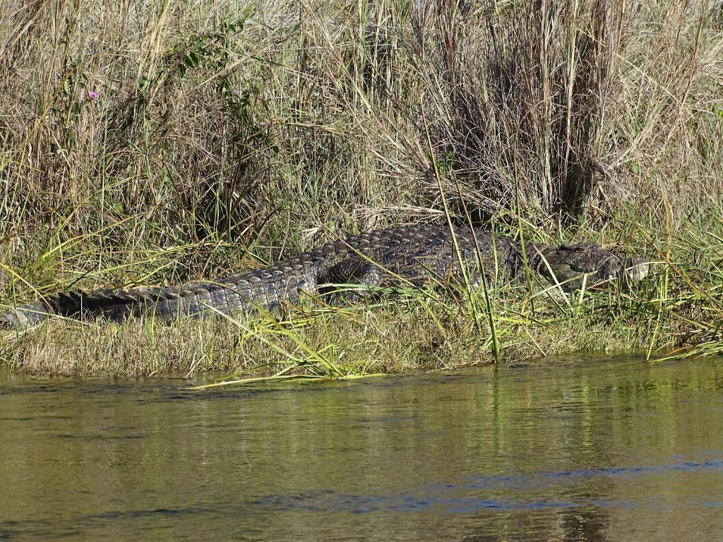 Krokodil Okovango Delta