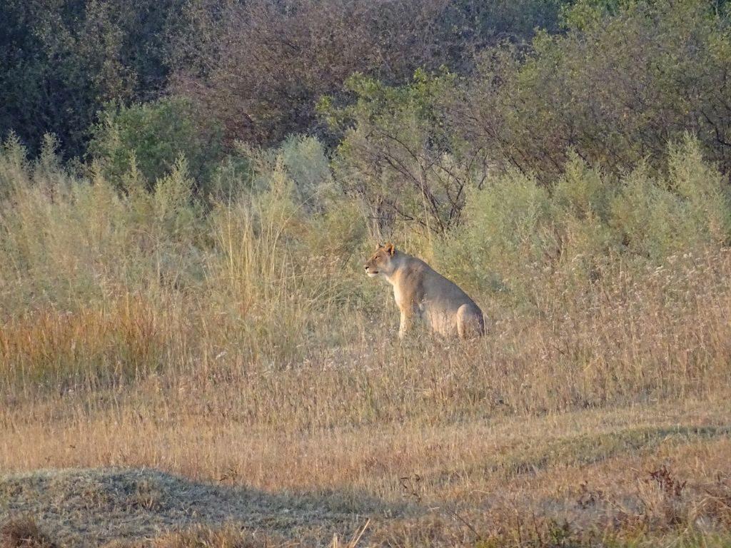 Löwin Savuti Afrika