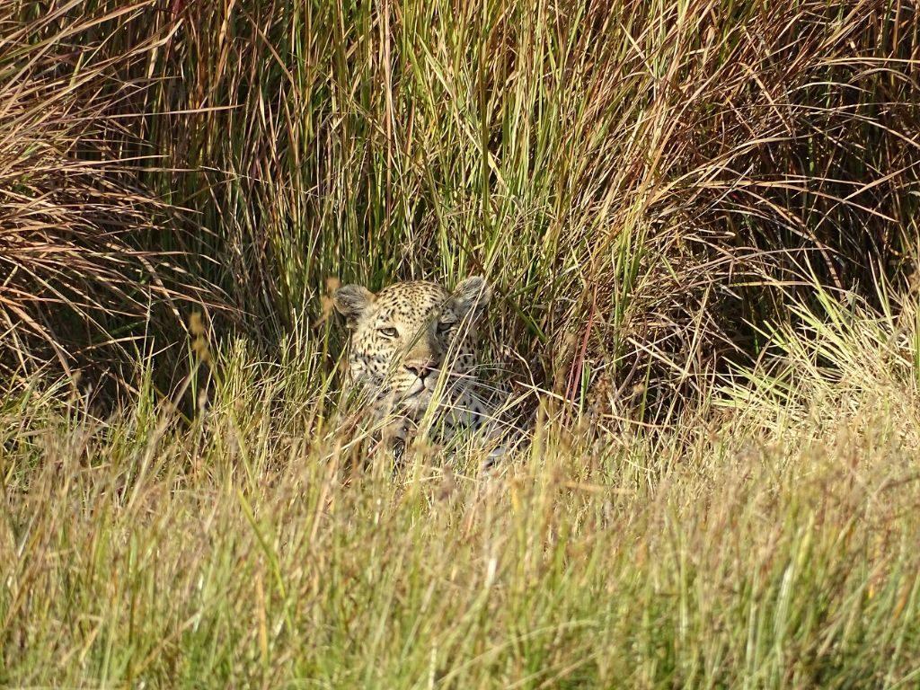 Leopard im Gras Moremi Botswana Afrika