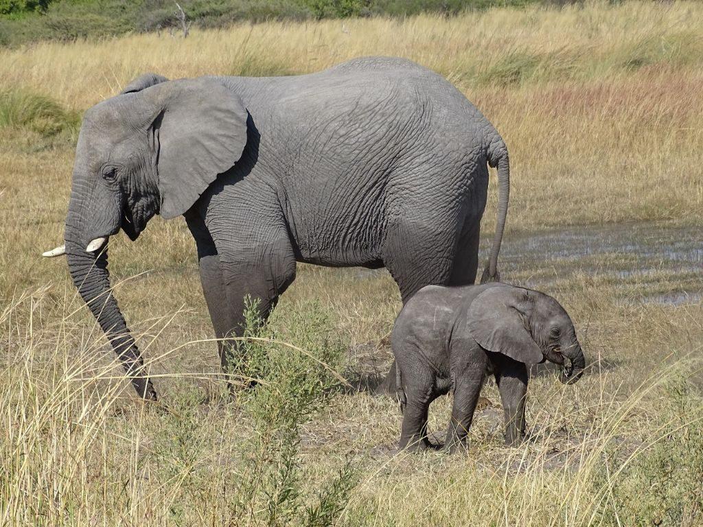 Mama Elefant und Kind Botswana Moremi Afrika