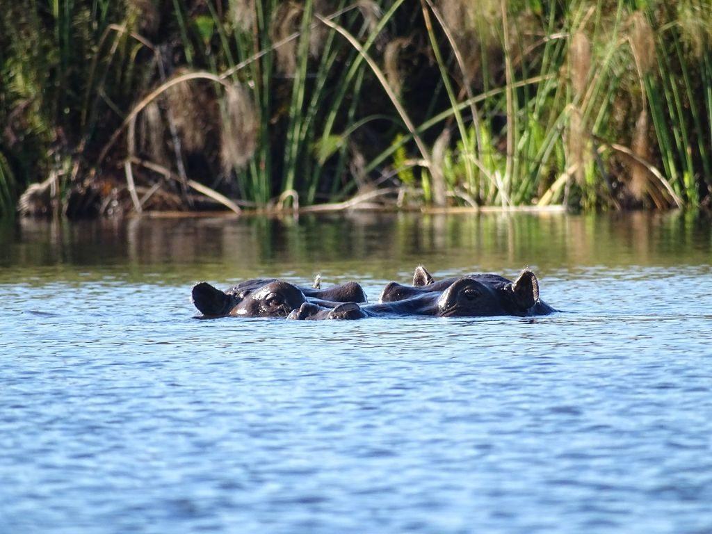 Okavango Delta Flußpferde