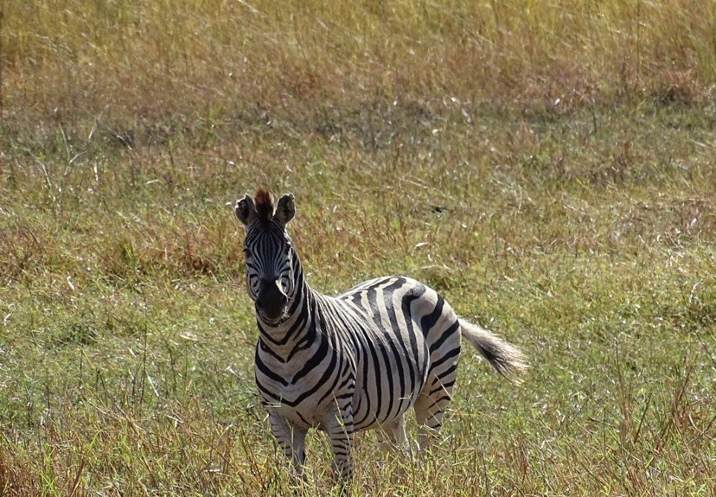 Okavango Delta Zebra
