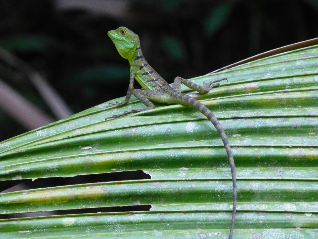 Echse Tortuguero Costa Rica