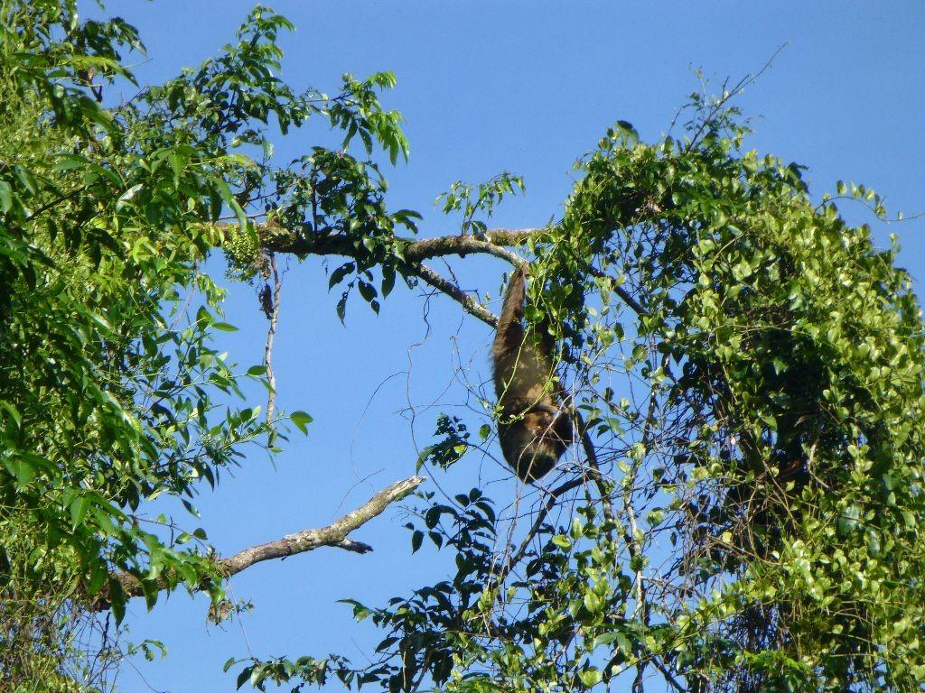 Faultier Tortuguero Costa Rica