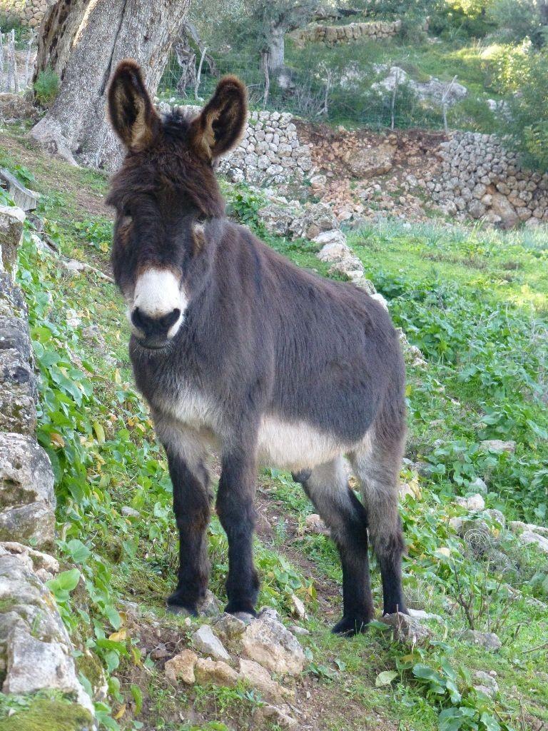 Mallorca Esel