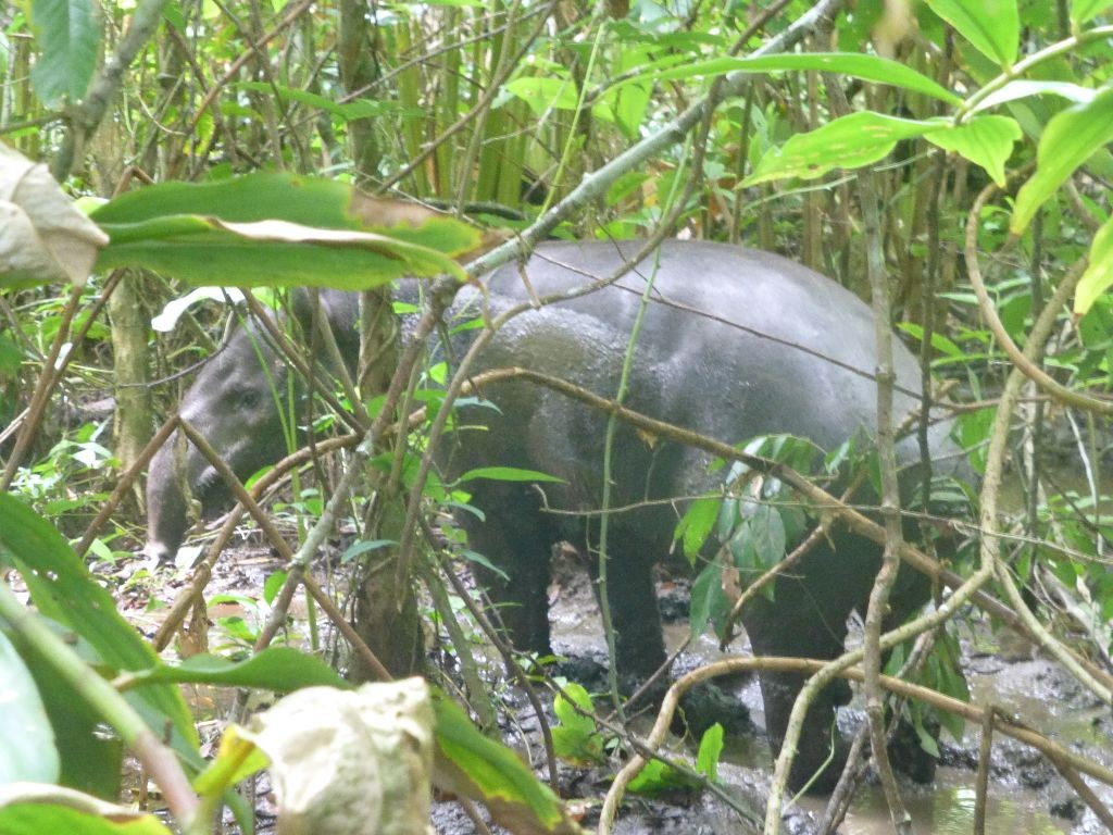 Tapir Corcovado Nationalpark