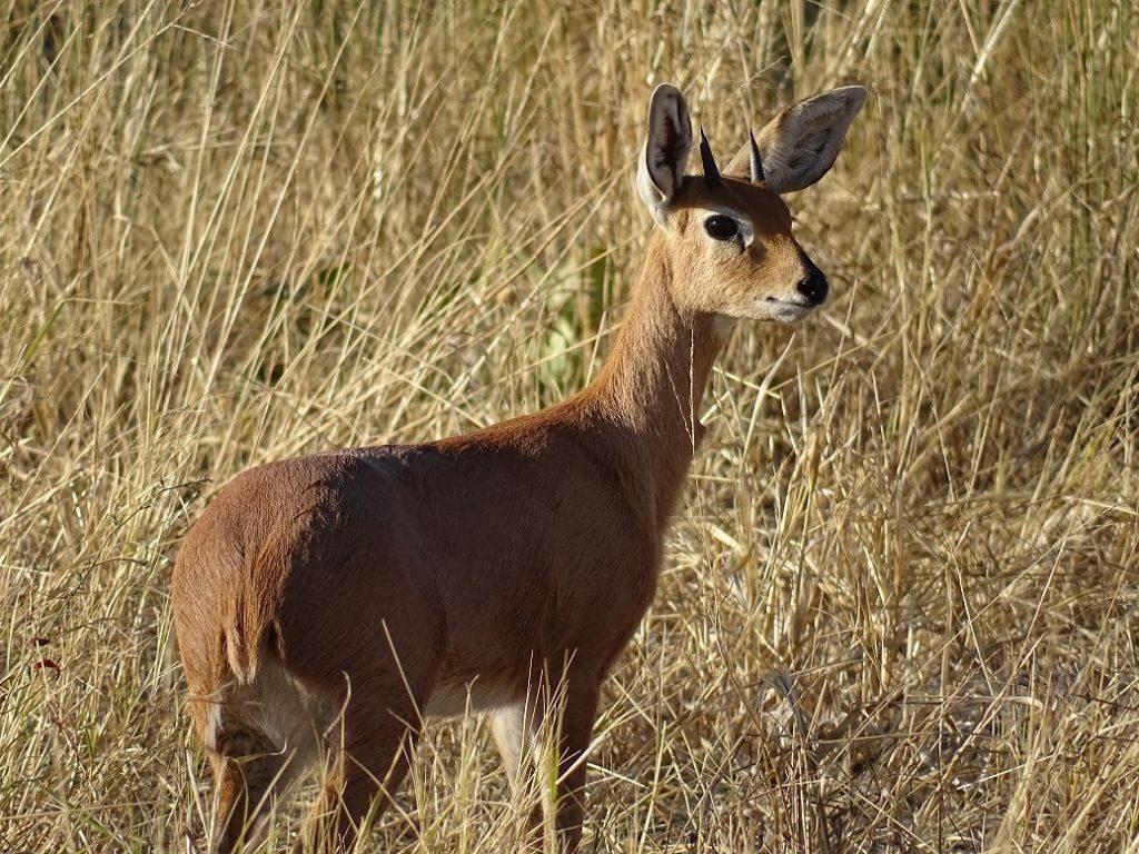Steinböckchen-Afrika-Savuti-Botswana