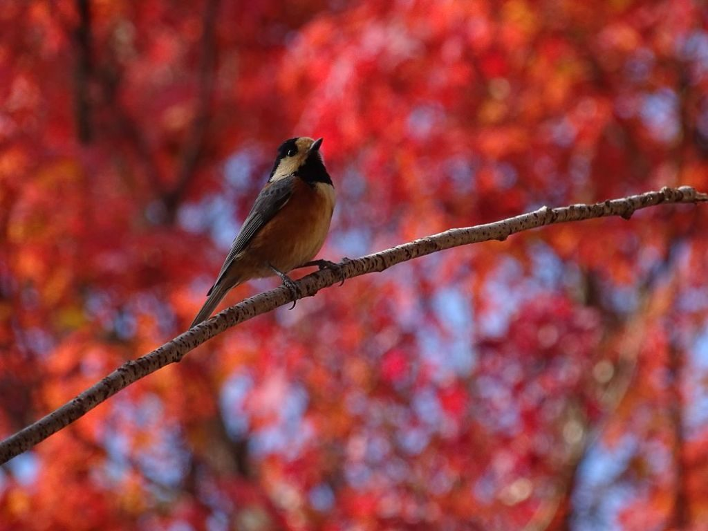 Vogel im japanischen Herbst
