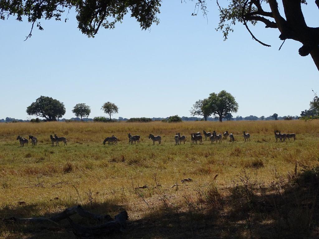 Zebraherde Okavango Delta